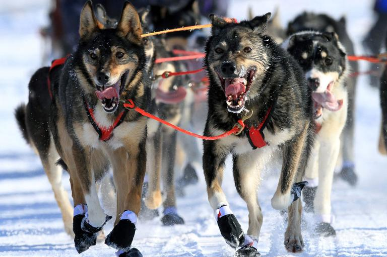 Lead dogs on the team of Louie Ambrose run during the ceremonial start of the Iditarod Trail Sled Dog Race Saturday, March 2, 2013, in Anchorage, Alaska. (AP)