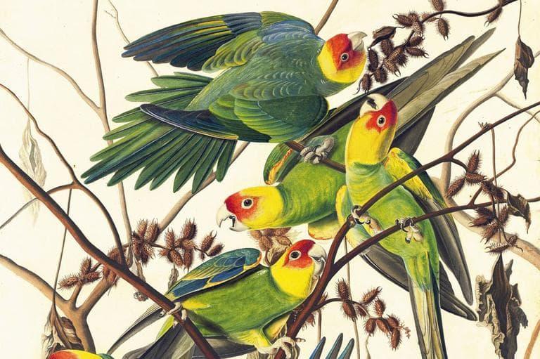 Carolina Parakeet (Conuropsis carolinensis), Study for Havell pl. no. 26, ca. 1825, John James Audubon. (New-York Historical Society)