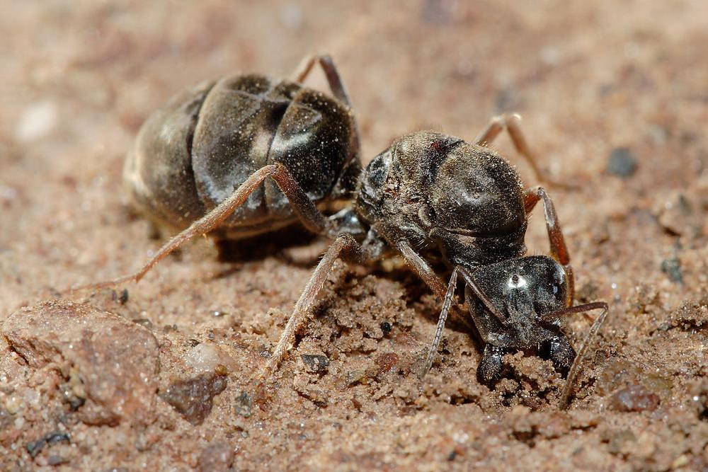 Fertilised meat-eater ant queen beginning to dig a new colony. (Wikipedia)