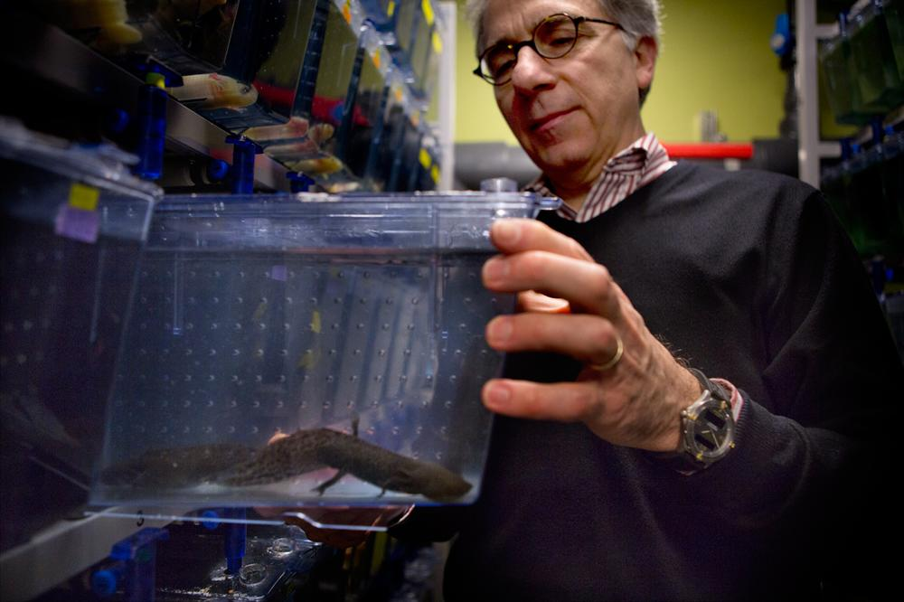 Doug Melton pulls out a tank of axolotl, or Mexican salamanders, in his lab at Harvard. (Jesse Costa/WBUR)
