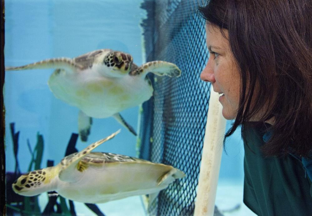 Acupuncturist Claire McManus watches a pair of sea turtles, who are recovering from a stranding, swim at the New England Aquarium's animal car center in Quincy, Mass., Monday May 20, 2013. McManus treated two sea turtles, not the two pictured, who were injured after getting stranded on Cape Cod during a prolonged exposure to cold weather. (Rodrique Ngowi/AP)