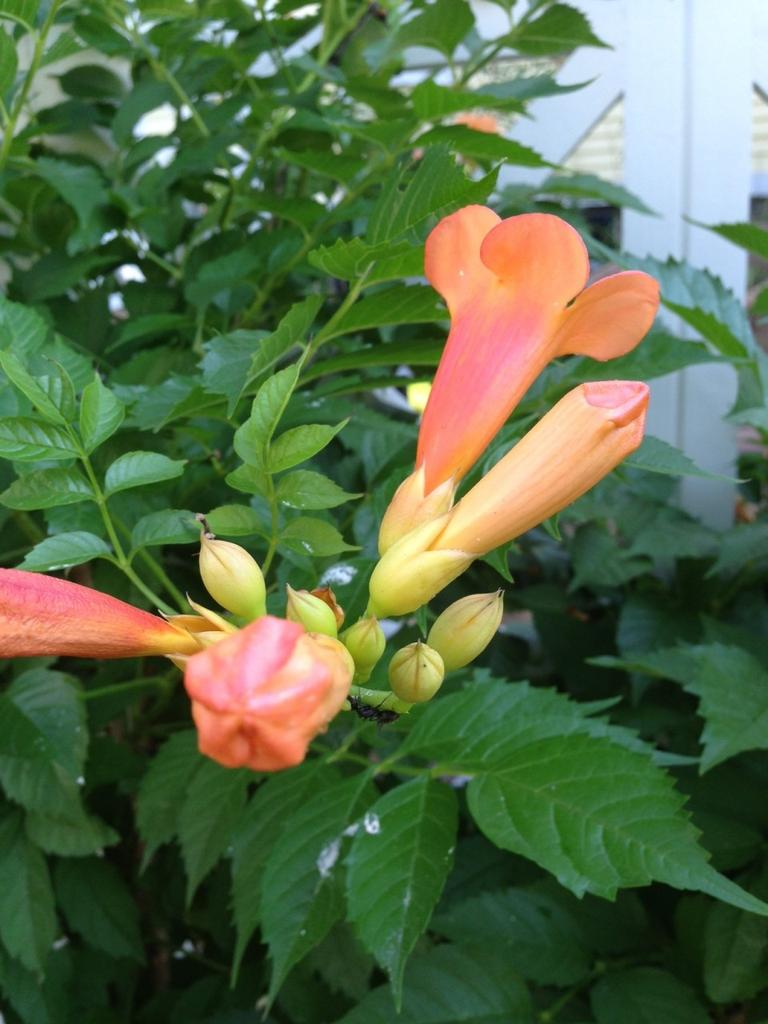 Trumpet vine flowers (Carey Goldberg/WBUR)