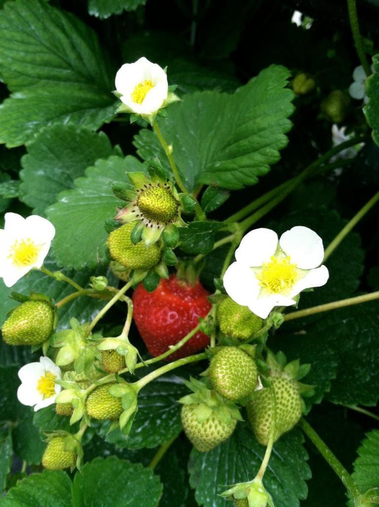 Alaskan strawberries. (Kathy Gunst/Here & Now)