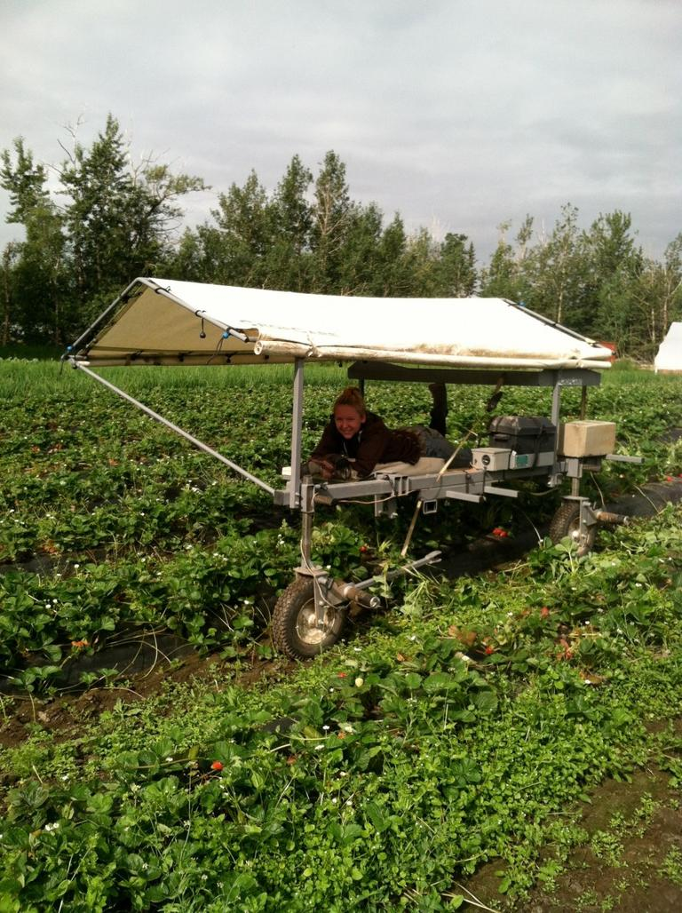 Strawberry picking in Alaska. (Kathy Gunst/Here & Now)