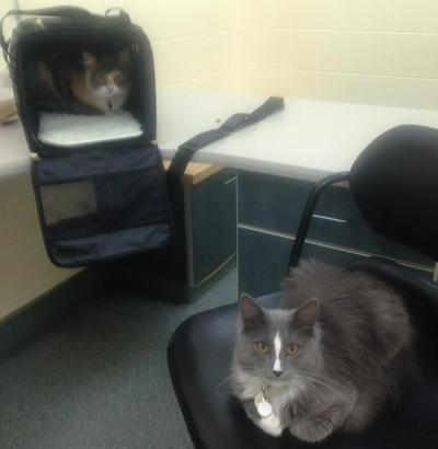 Here & Now co-host Robin Young's cats are pictured last night at Angell Animal Medical Center. (Robin Young/Twitter)