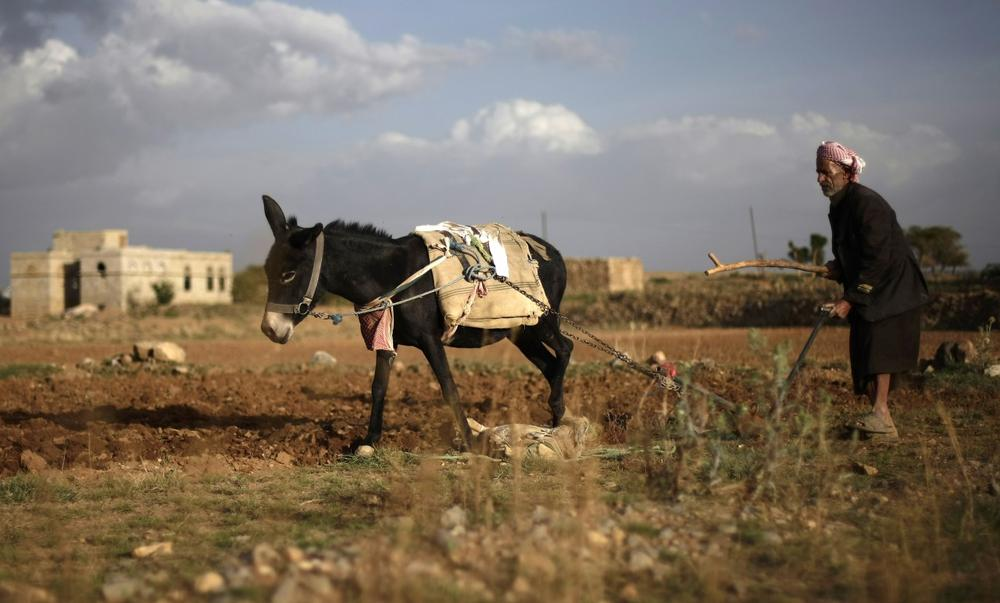 A farmer and his donkey plow a field on the outskirts of Sanaa, Yemen, May 8, 2013. (Hani Mohammed/AP)