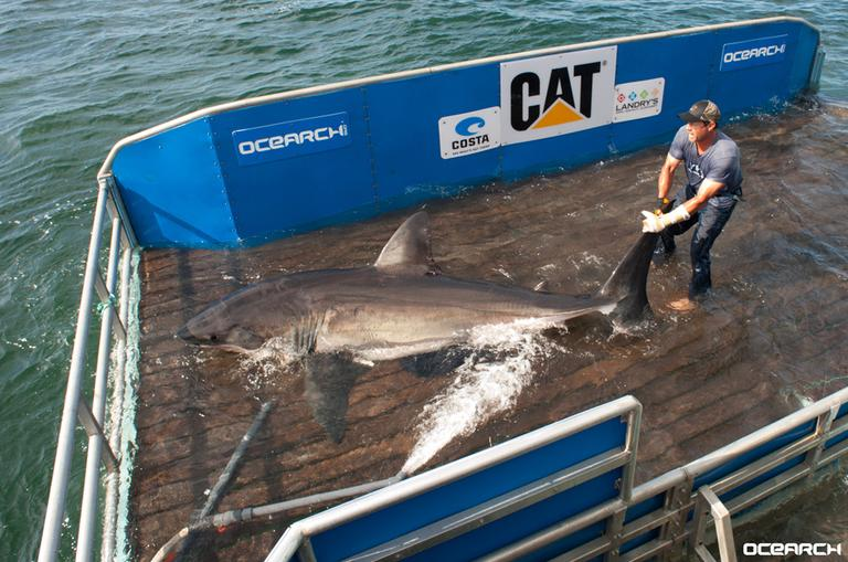 BrettMcBrideontheOCEARCH sharkliftwithBetsy Thursday (OCEARCH)