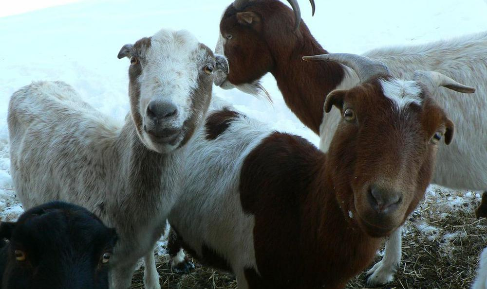"""""""Eco-goats"""" eat invasive species and other problem vegetation. (Courtesy of the Congressional Cemetery)"""