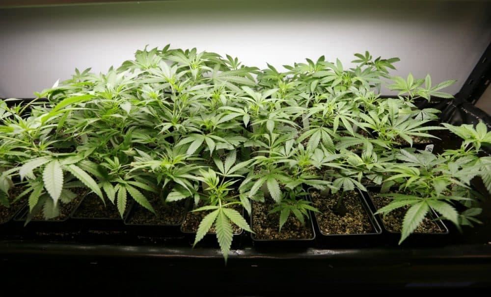 Marijuana plants (AP)