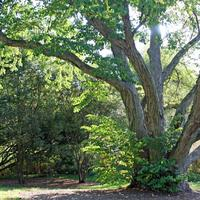 An aging katsura tree planted in 1878, at the Arnold Arboretum, Jamaica Plain.  (Alexandra Koktsidis/WBUR)