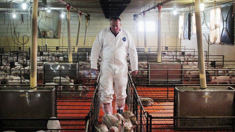Craig Rowles raises pigs in Carroll, Iowa. (Dan Charles/NPR)