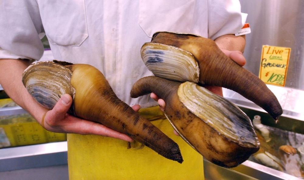 A Seattle grocer displays live geoducks in June 2003. Geoduck farmers on the West Coast export most of their harvest to China, where the clam is considered a delicacy. (Elaine Thompson/AP)