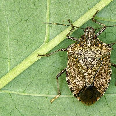 The Brown Marmorated Stink Bug has been causing trouble for homeowners and farmers from New Hampshire to California. (rutgers.edu)
