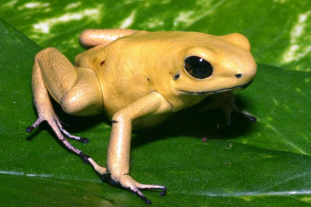 The golden poison dart frog is credited as the most poisonous animal currently in existence. (AMNH)