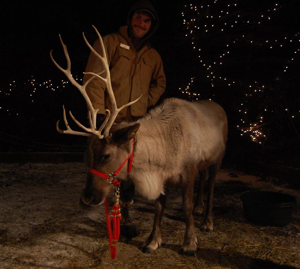 """The real, live reindeer at the Stone Zoo's """"ZooLights."""" (Greg Cook)"""