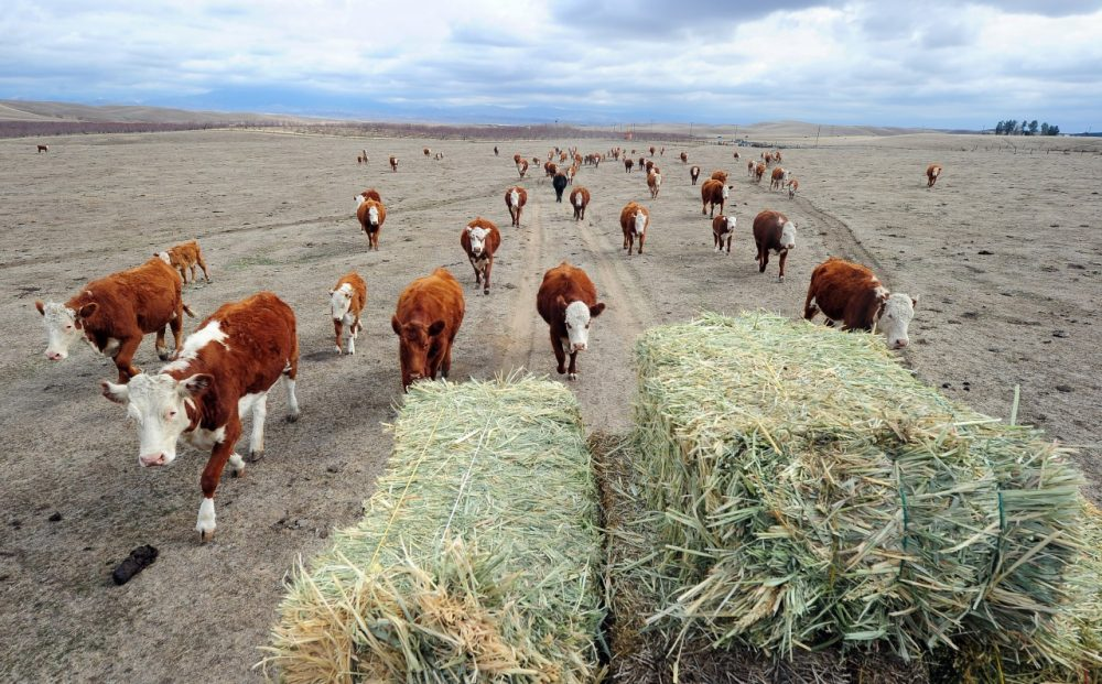 A herd of beef cattle in California's Central Valley give chase to a meal delivery of hay, Feb. 3, 2014. At this time of the year normally, the fields would be covered in lush green grass. (Frederic J. Brown/AFP/Getty Images)