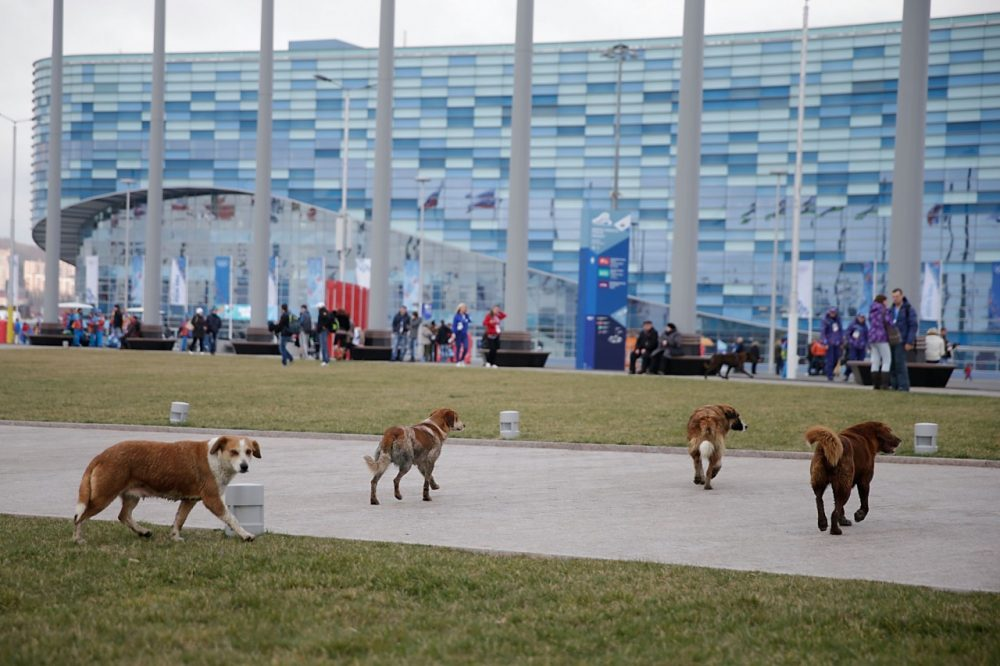 Stray dogs might be more plentiful than Olympians in Sochi. (Joe Scarnici/Getty Images)