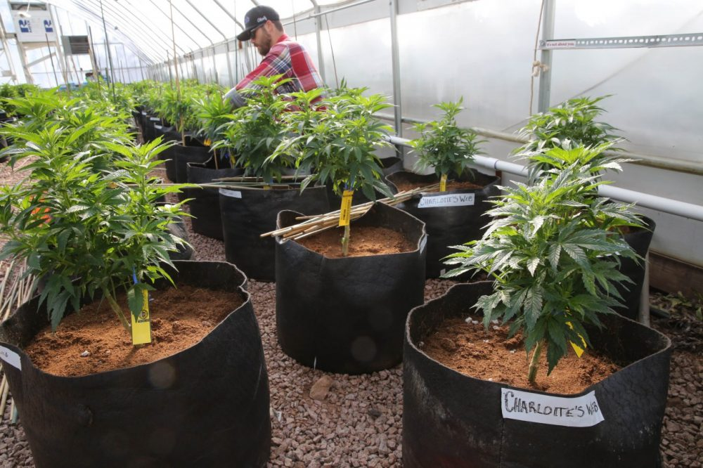 A worker cultivates medical marijuana inside a greenhouse. (Brennan Linsley/AP)