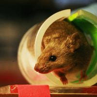 Lab mouse (Rama/Wikimedia Commons)