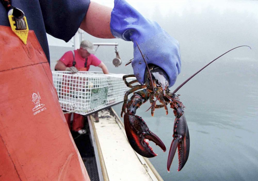 A sternman holds a lobster caught off South Bristol, Maine. (Robert F. Bukaty/AP)