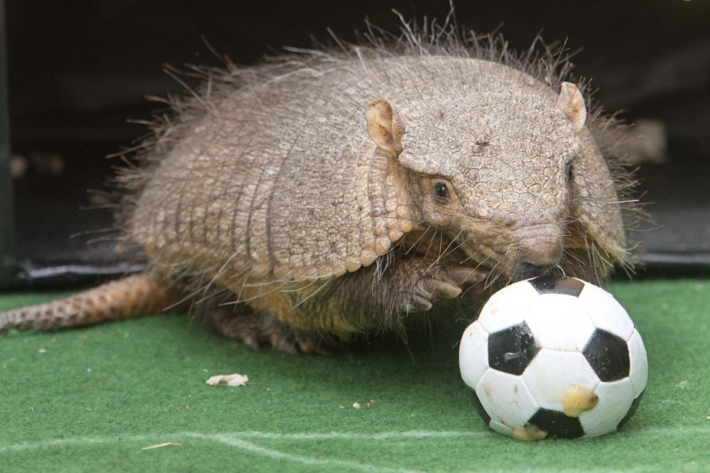 Armadillo Taka snuffles on a ball during the TV recording of an oracle for the upcoming match Germany vs Ghana at the World Cup 2014 in the zoo in Erfurt, Germany, Thursday, June 19, 2014. (AP)
