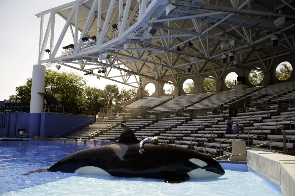 "In this April 10, 2014 photo, Sea World trainer Michelle Shoemaker hugs killer whale Kayla as she works on a routine before a show, in Orlando, Fla. SeaWorld Entertainment, Inc. has faced criticism over its treatment of its captive killer whales since the release of the highly-critical documentary, ""Blackfish,"" last year. (John Raoux/AP)"