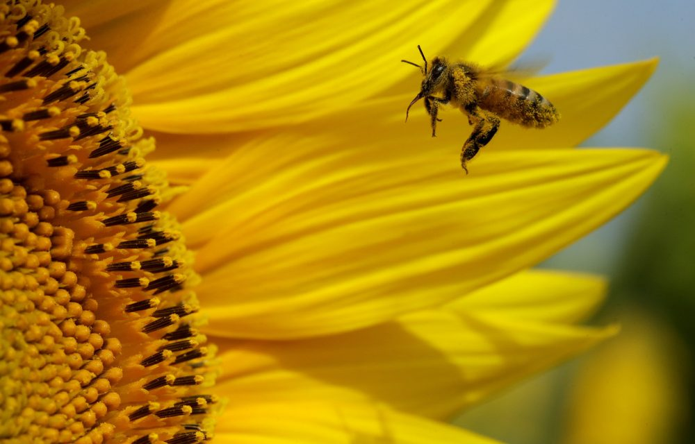 A bee collects pollen in a sunflower field, Monday, Sept. 1, 2014, near Lawrence, Kan. (Charlie Riedel/AP)