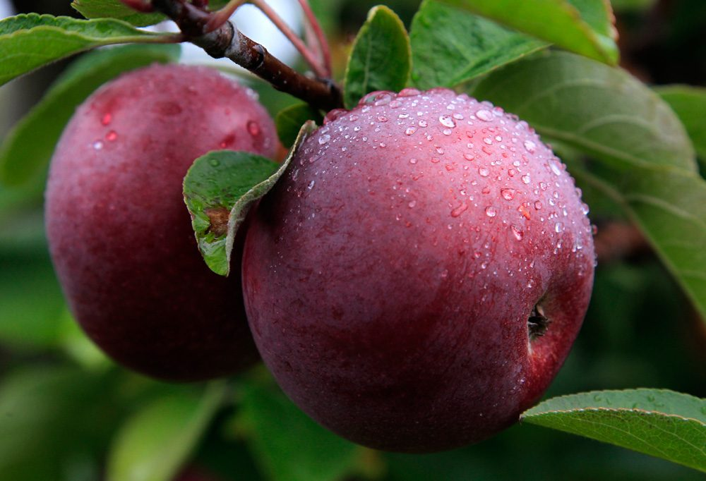 McIntosh apples hang from a tree at Carlson Orchards in Harvard, Mass., in October 2012. (Steven Senne/AP)