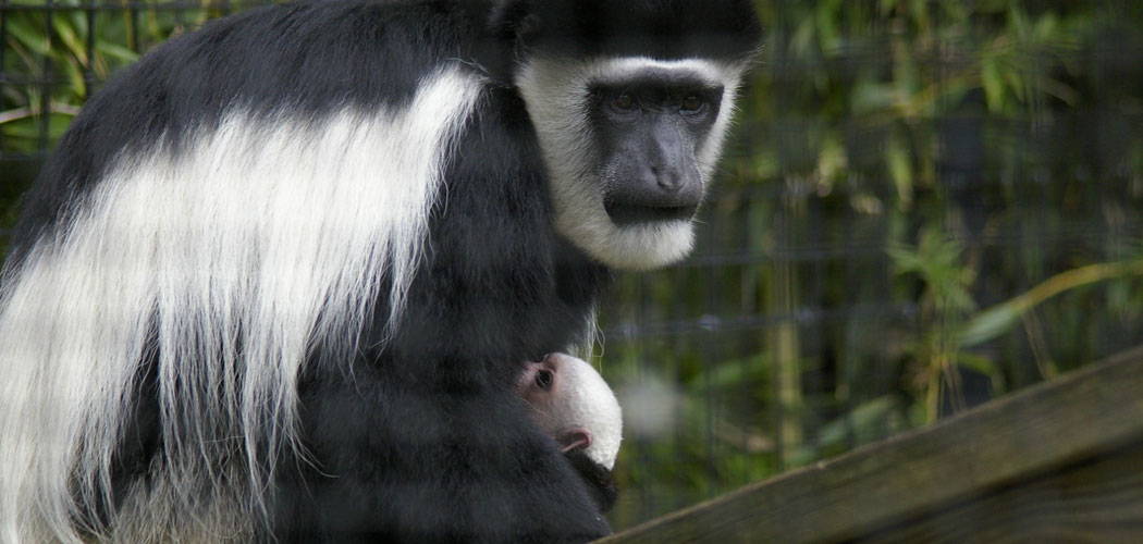 The new baby Eastern black-and-white colobus monkey at the Stone Zoo. (Dayle Sullivan-Taylor)