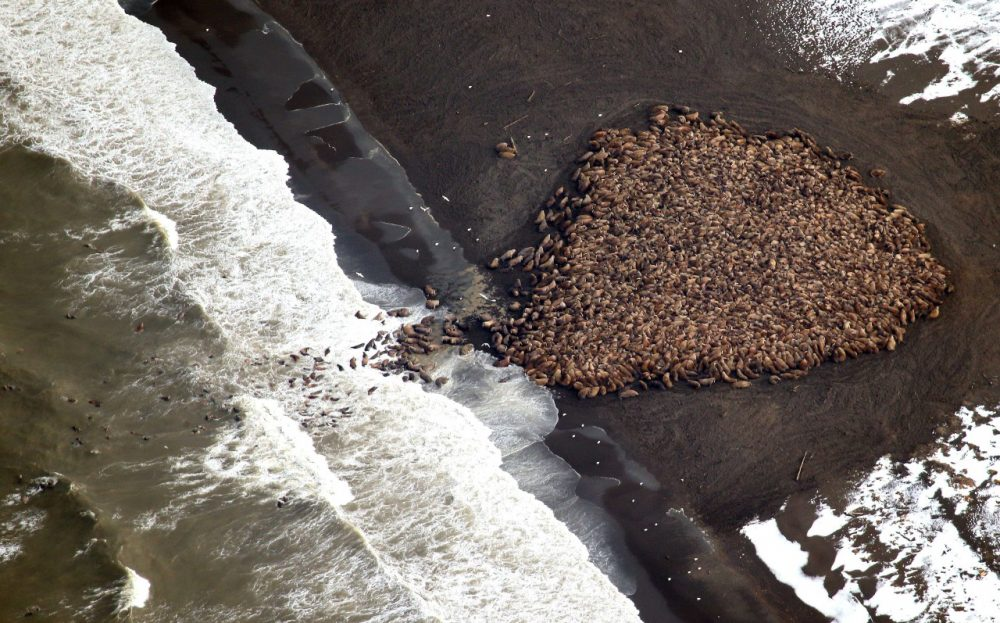 In this aerial photo taken on Sept. 23, 2014 and released by NOAA, some 1,500 walrus are gather on the northwest coast of Alaska. Pacific walrus looking for places to rest in the absence of sea ice are coming to shore in record numbers, according to NOAA. (Corey Accardo/NOAA via AP)