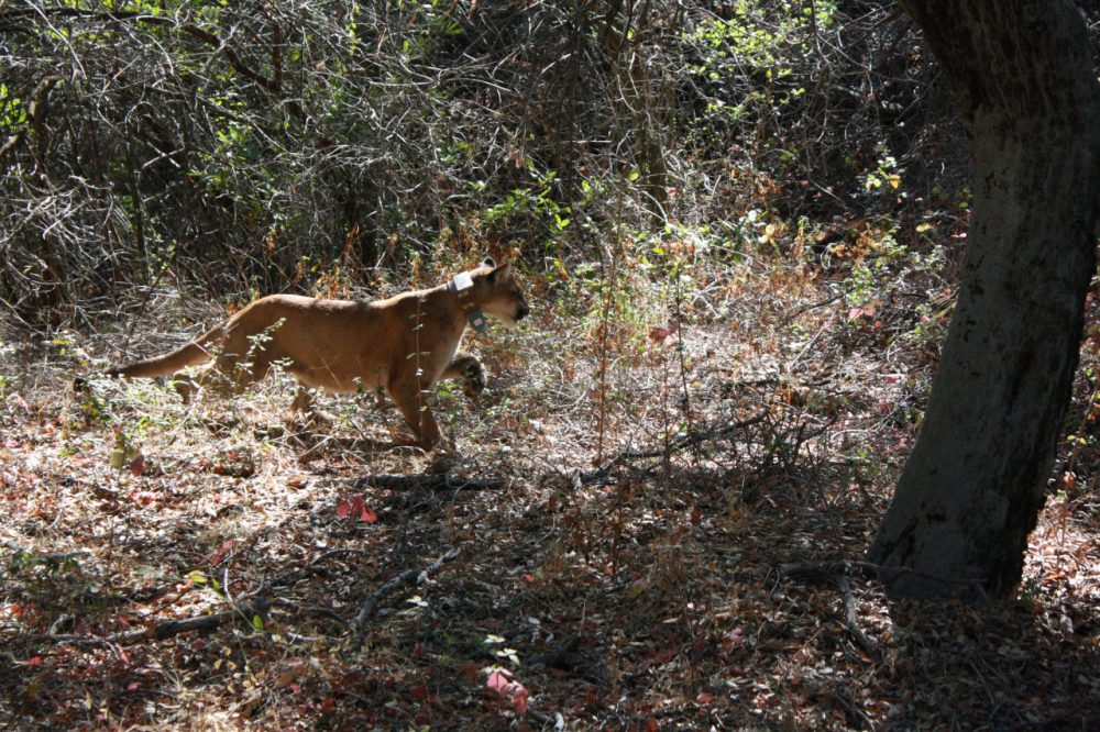 A mountain lion monitored by the National Park Service in the Santa Monica Mountains. (National Park Service/Flickr)