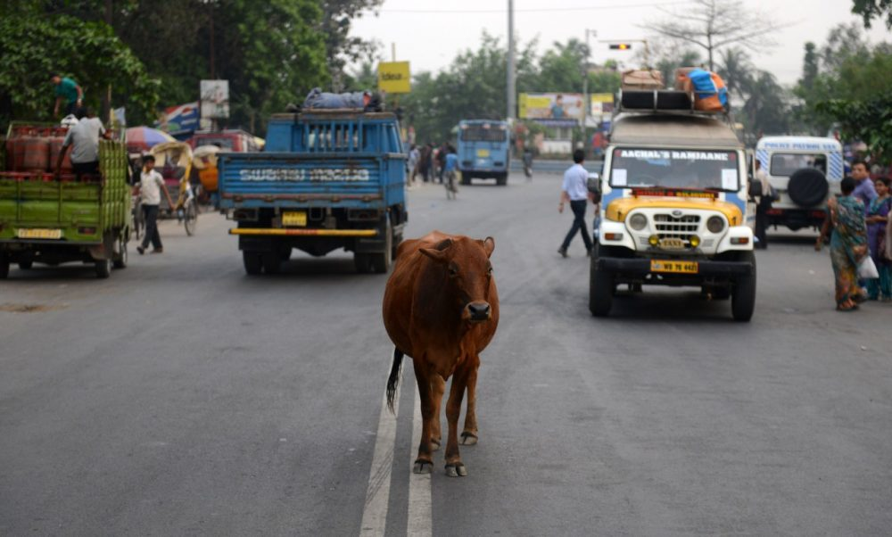 A cow stands between vehicles passing along National Highway NH-55 in Siliguri in India on April 4, 2014. (Diptendu Dutta/AFP/Getty Images)