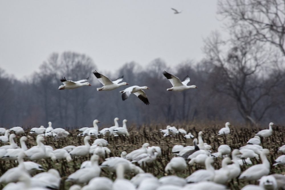 It's a Here & Now Thanksgiving tradition to revisit Robin Young's trip with her now-late uncle to see the migrating snow geese at the Dead Creek Refuge in Addison, Vermont. (chesbayprogram/Flickr)