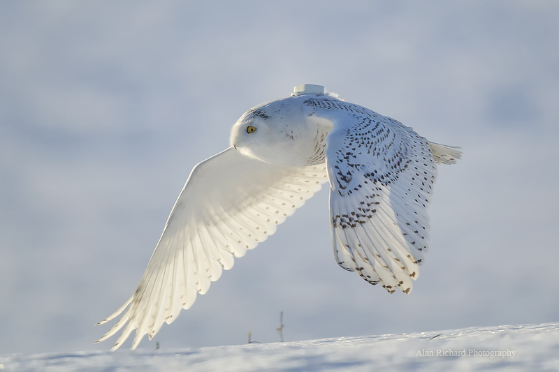 Gps Car Tracker >> Snowy Owls 'Irrupting' In Northern States | Here & Now