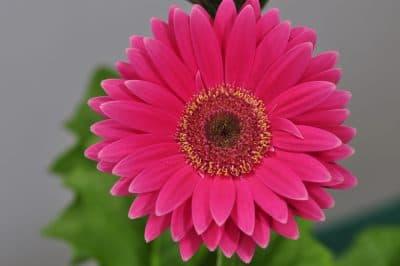Pink Gerbera. (Noppadon Wongsuwan/flickr)