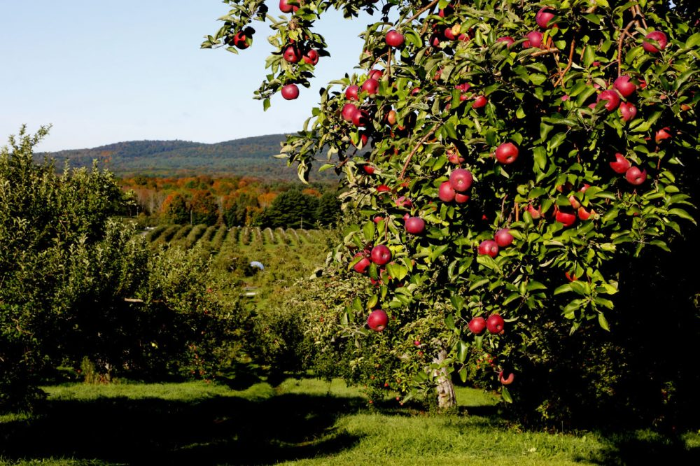Farmers say it's too early to tell if this year's apple crop will be a success. (Massachusetts Office of Travel & Tourism/Flickr)
