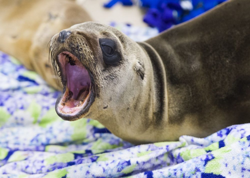 A rescued sea lion rests in a holding pen at the Pacific Marine Mammal Center in Laguna Beach, California, on March 30, 2015. Record numbers of starving baby sea lions continue to wash ashore in California and the problem has shown no sign of abating. According to the New York Times, experts suspect that unusually warm waters are causing food to become more scarce, causing the mother to leave their pups on their own while the mother hunts for food. Left on their own, the pups can not find food and become sick and emaciated, swimming to shore to prevent themselves from drowning. (Robyn Beck/AFP/Getty Images)