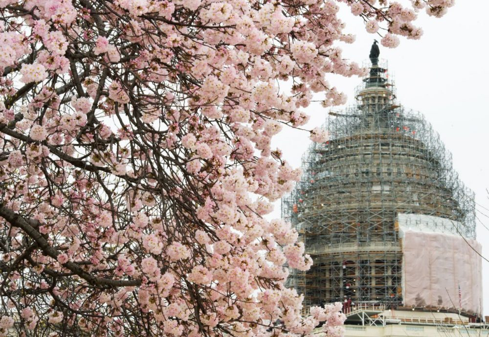 Cherry blossoms are seen on the U.S. Capitol grounds in Washington, D.C. on April 8, 2015. (Paul J. Richards/AFP/Getty Images)