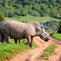 A rhino crosses a dirt road in South Africa. (colinthescot/Flickr)