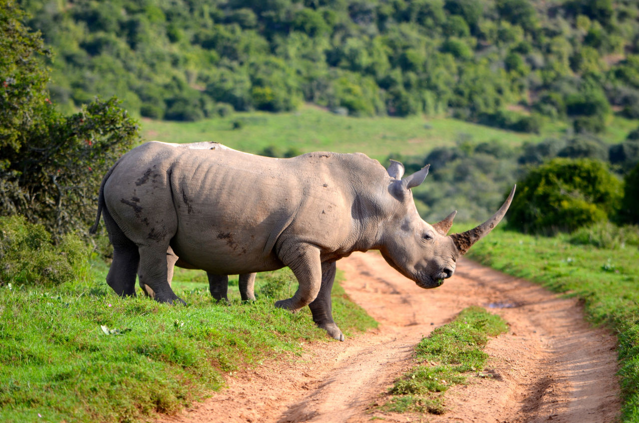 rhinos and other large herbivores at risk of extinction | here & now