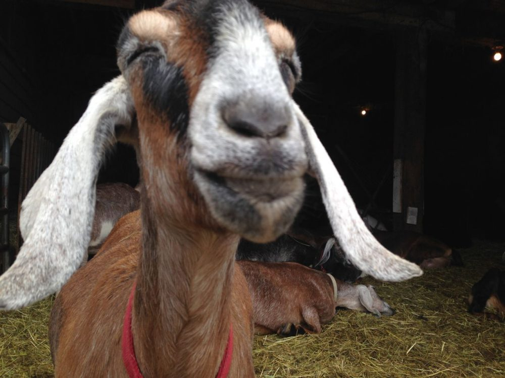 One of the many goats at Valley View Farmstead Cheeses. (Meghna Chakrabarti/WBUR)