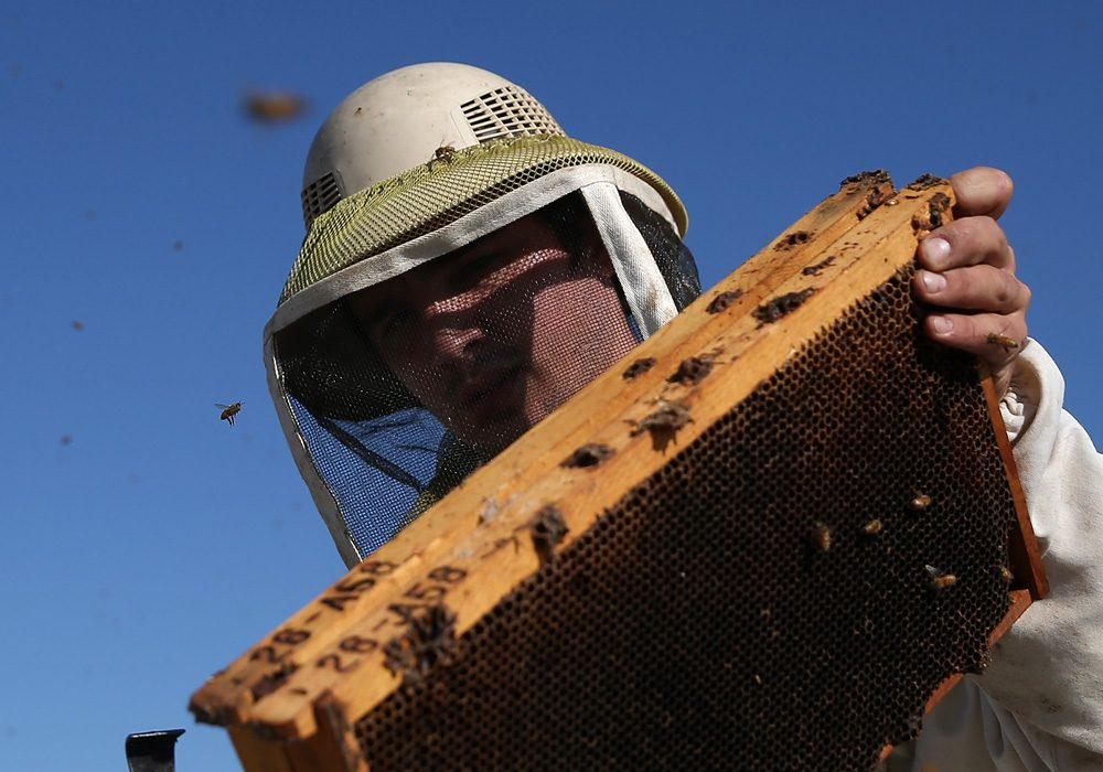 Jordan Erickson with Gene Brandi Apiaries inspects a bee hive on September 5, 2014 in Los Banos, California. (Justin Sullivan/Getty Images)