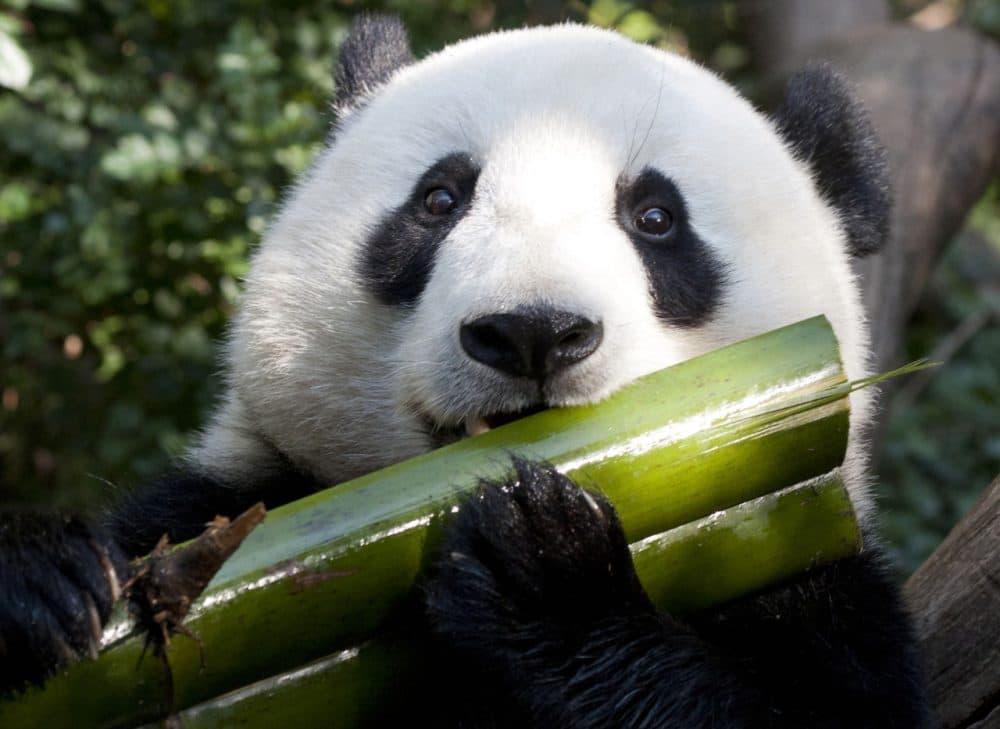 Giant panda's bamboo diet still looks surprisingly carnivorous