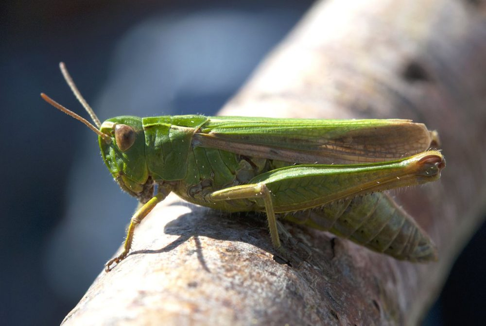 Grasshoppers, crickets, meal worms, oh my! (Howard Potts/flickr)