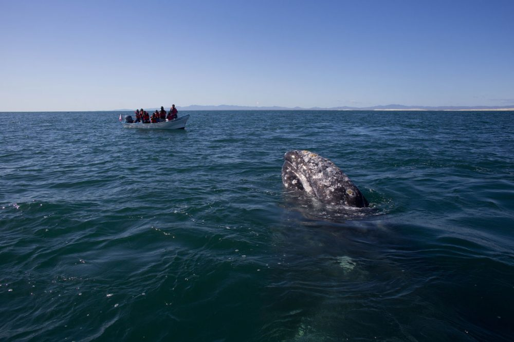 Visitors aboard a boat watch as a gray whale surfaces in the Pacific Ocean waters of the San Ignacio lagoon, near the town of Guerrero Negro, in Mexico's Baja California peninsula. Hunted to the edge of extinction in the 1850's after the discovery of the calving lagoons, and again in the early 1900's with the introduction of floating factories, the gray whale was given full protection in 1947 by the International Whaling Commission. (Dario Lopez-Mills/AP)