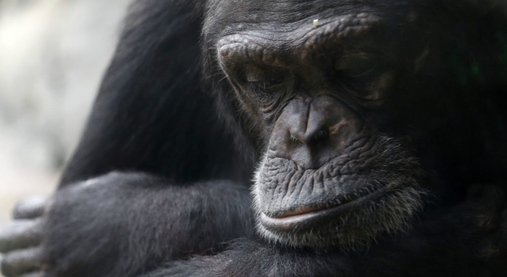 """Lawyers for two chimpanzees are arguing that the animals have """"personhood"""" rights and should be freed from the Long Island university where they are kept. (Pat Sullivan/AP)"""