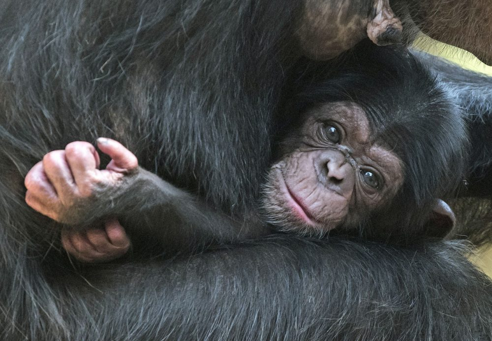 A baby chimpanzee relaxes on its mother Swela at the Leipzig Zoo in Leipzig, central Germany, Thursday, April 23, 2015. (Jens Meyer/AP)