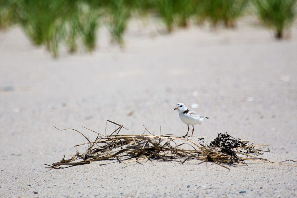 The town of Orleans has a two-part plan to allow beachgoers and piping plovers to co-exist this summer. The plan involves a technique to alter the behavior of predators and a self-escorting program approved by the state and federal government to allow vehicles access to parts of the beach near the plovers.  (Jesse Costa/WBUR)