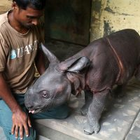 A nearly three-day-old male rhino calf found alone in the wilderness is rescued by the Kaziranga Forest staff and handed over to Centr for Wildlife Rehabilitation and Conservation (CWRC) (Subhamoy Bhattacharjee/IFAW-WTI)
