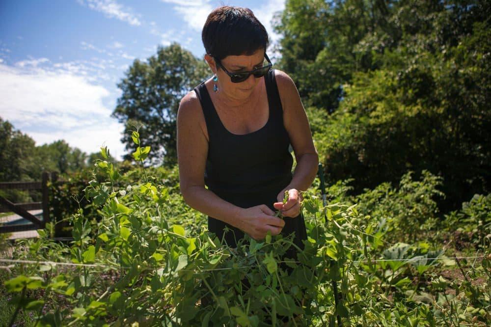 Kathy Gunst picks peas from her garden in Maine. (Jesse Costa/WBUR)